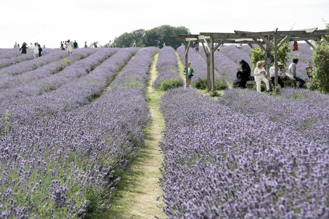 Mayfield Lavender Farm en Londres