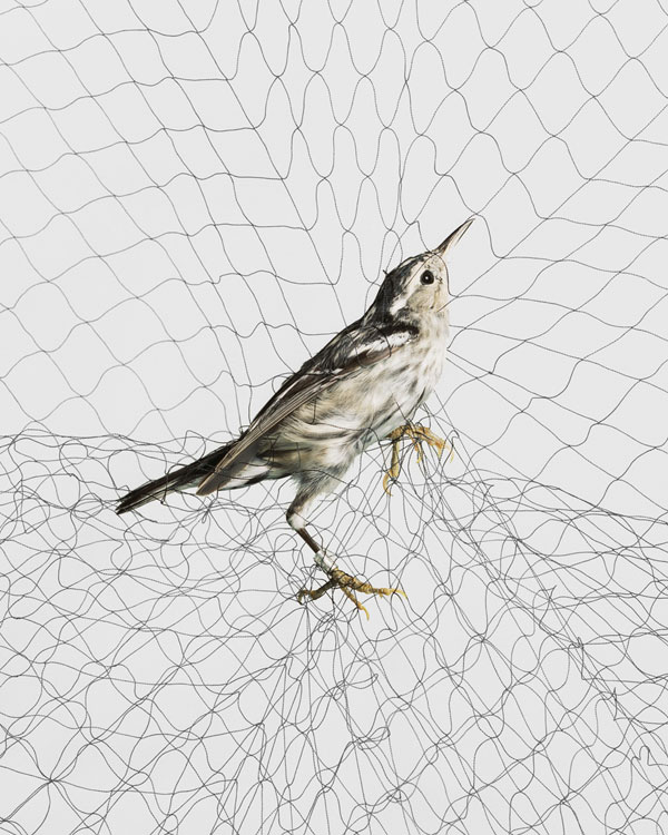 Todd Forsgren's Ornithological Photographs (NOTCOT)