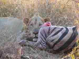 Lion_uMkhuze_Blog4