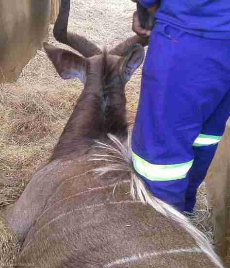 Nyala buck transfer in Zululand Rhino Reserve
