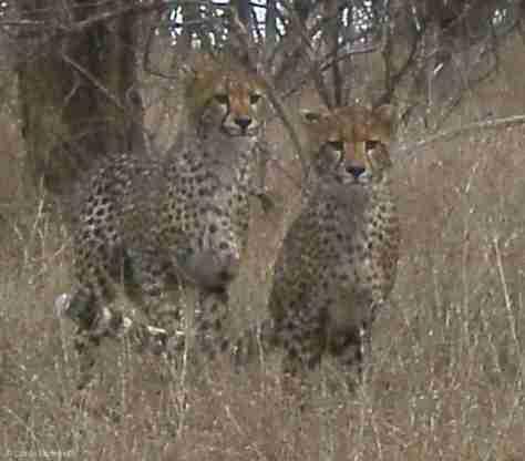 cheetah (3) (1280x1123)