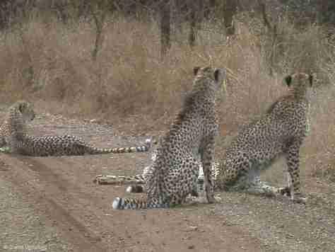 cheetah (5) (1280x960)