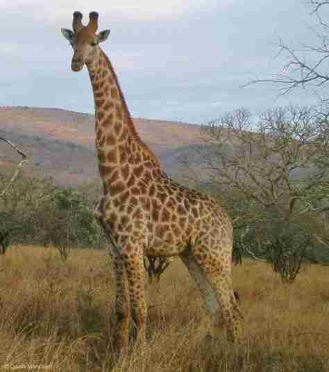 giraffe (4) (1135x1280)