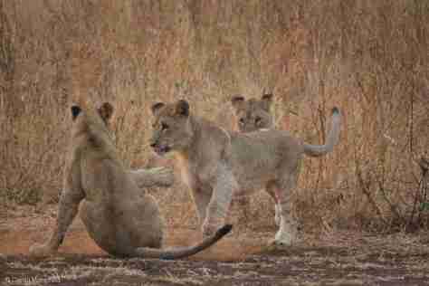 lion (2) (1280x852)