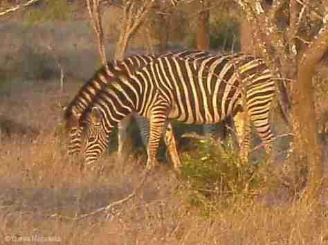 zebra (779x582)