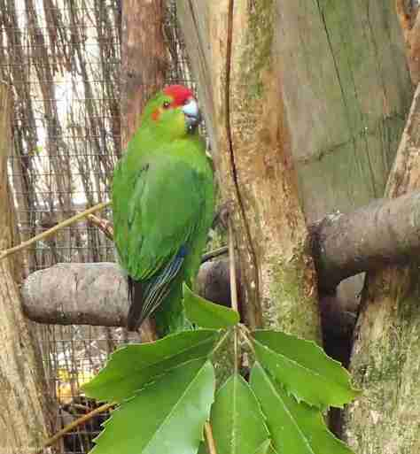 RED CROWNED PARAKEET - KAKARIKI