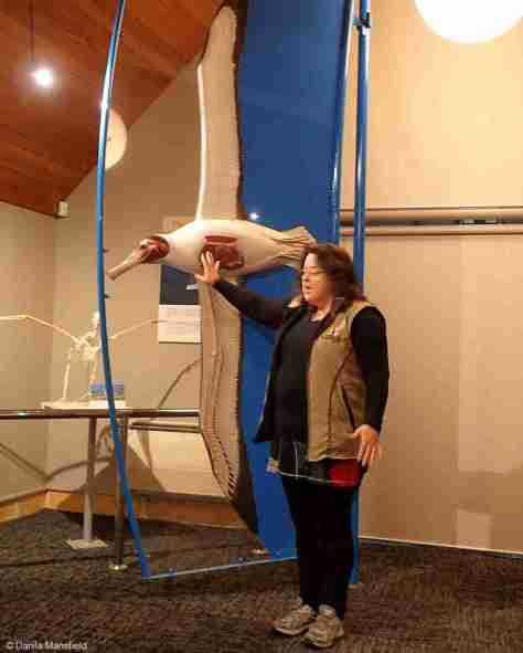 ACTUAL SIZE OF ROYAL ALBATROSS