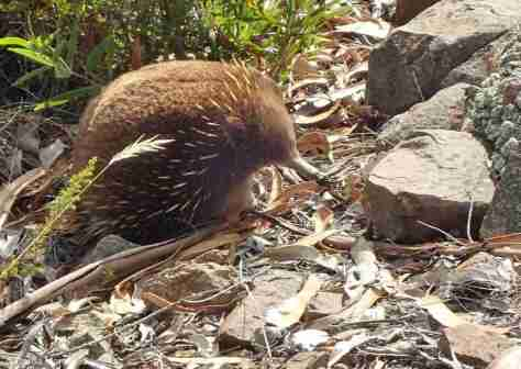 ECHIDNA ALONG THE SIDE OF THE ROAD