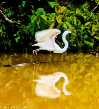 Egret taking off on the Kinabatangan River