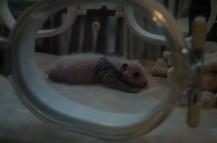 Baby-Panda-Inkubator