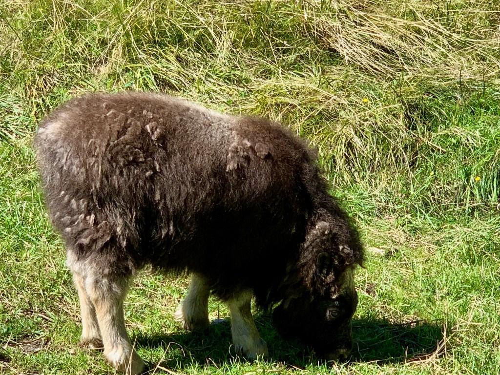 Trebek: muskox calf