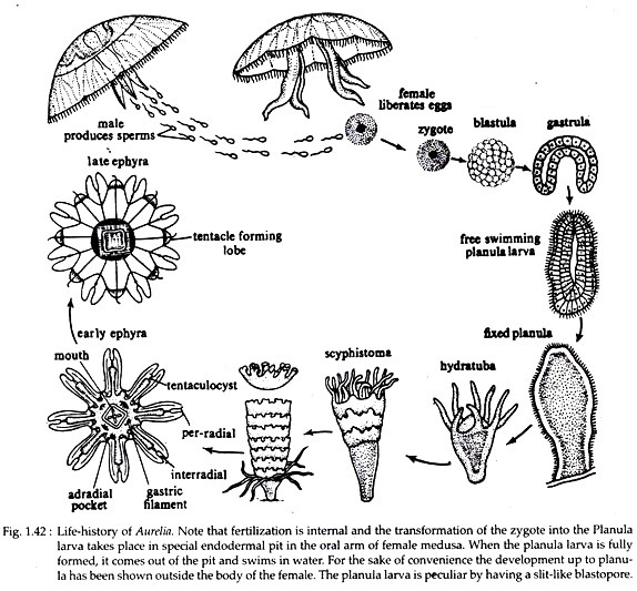 Aurelia (Jelly Fish): Structure, Histology and Nutrition