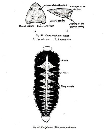 Circulatory System in Various Arthropods