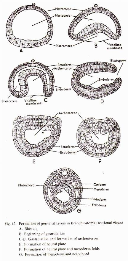 Formation of Germinal Layers in Various Vertebrates