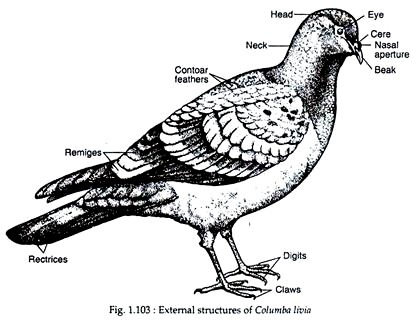 External Structures of Pigeon (With Diagram)