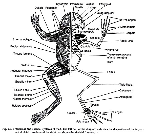 skeletal and muscular system diagram venn worksheet grade 4 of toad with zoology systems