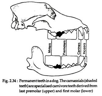 Teeth in Mammals: Origin, Structure and Types
