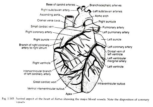 Circulatory System of Rattus Norvegicus (With Diagram