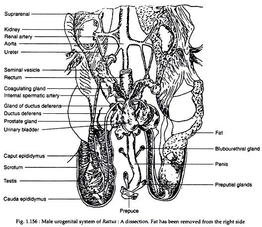 Reproductive Organs of Rattus Norvegicus (With Diagram