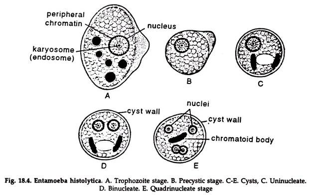 Life Cycle of Entamoeba Histolytica (With Diagram