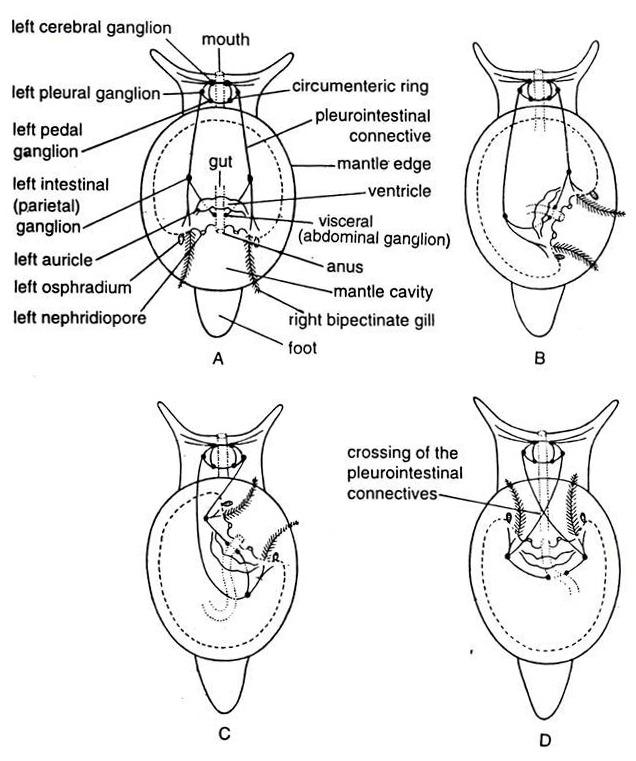 mollusca diagram labeled 2003 mazda tribute engine torsion effect and significance phylum in gastropod molluscus