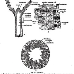 Rotifer Diagram Labeled Vintage Telecaster Wiring Hydra Long Section Eight Ineedmorespace Co Reproduction And Regeneration Zoology Rh Notesonzoology Com Hypostome