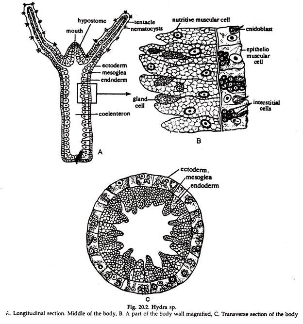 rotifer diagram labeled weg w22 wiring hydra long section eight ineedmorespace co reproduction and regeneration zoology rh notesonzoology com hypostome