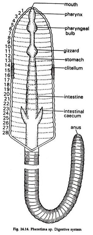 Essay on Earthworm: Feeding and Digestion
