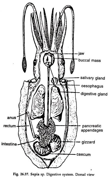 Cuttle Fish: Respiratory System and Digestive System