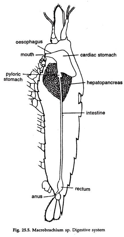 Prawn: Locomotion and Reproductive System