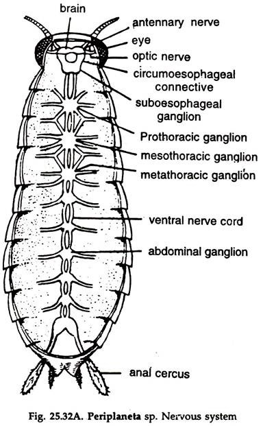 endocrine system diagram snapper rear engine rider wiring 3312x6st 33 12hp extra tough essay on cockroach: digestive and respiratory