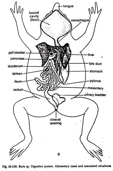 Fetal Topographical Anatomy Of The Pancreatic Head And