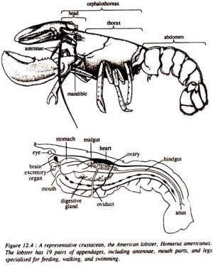 Structure of Lobster (With Diagram) | Crustaceans