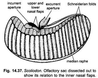 Receptor Organs of Dogfish (Scoliodon): With Diagram