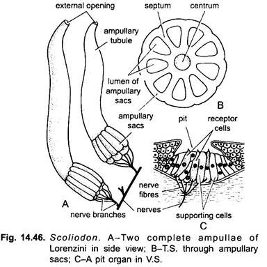 Urinogenital Organs of Dogfish (Scoliodon): With Diagram