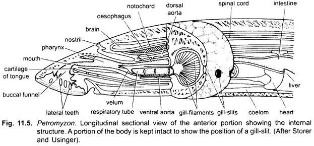 Anatomy of Lamprey (With Diagram)   Vertebrates   Chordata ...