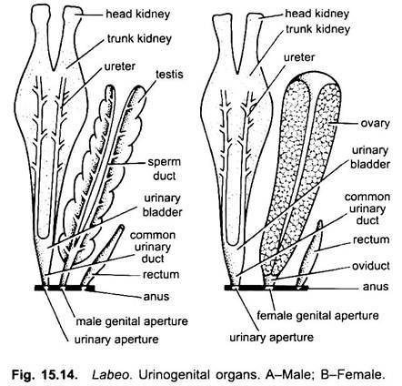 Urinogenital System of Rohu Fish (Labeo rohita): With