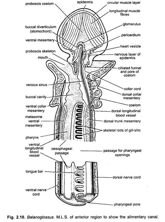 Digestive System of Balanoglossus (With Diagram