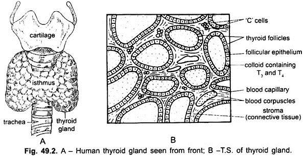diagram of the thyroid gland