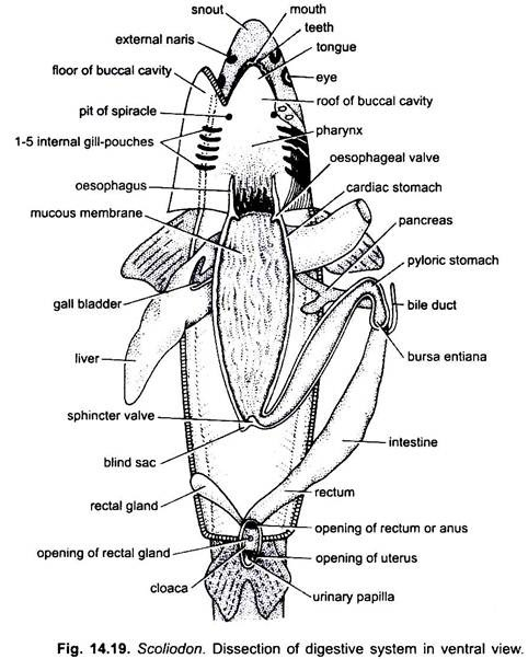 diagram of mesentery peritoneum