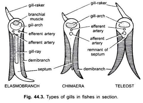 Respiratory System in Vertebrates (With Diagram