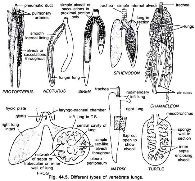 Respiratory System in Vertebrates (With Diagram