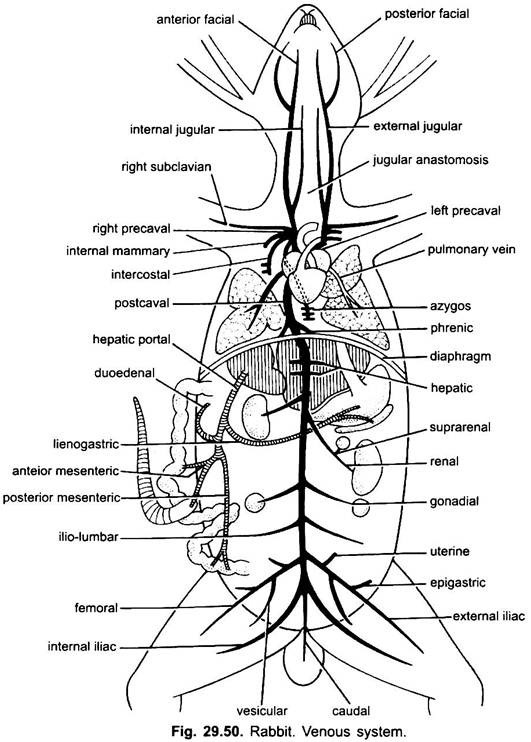 vascular system diagram