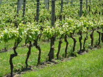 Row of vines