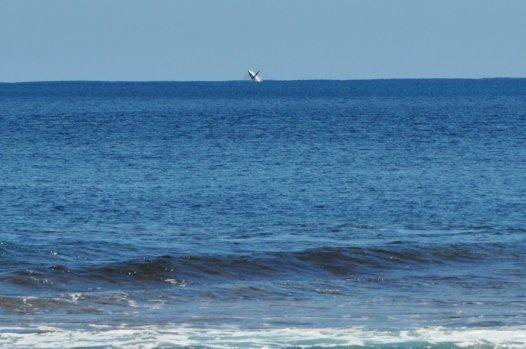 Hump back whale breaching off the coast