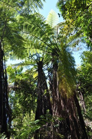 Abel Tasman tree ferns