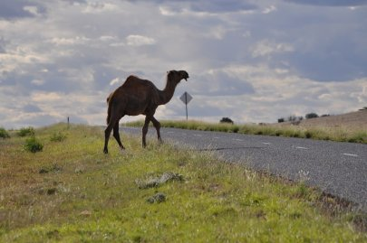 Wild camel crossing the road