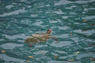 Sea Turtle at Daydream Island