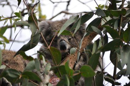 Wild koala bear