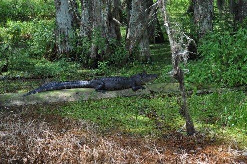 cajun swamp tour 7